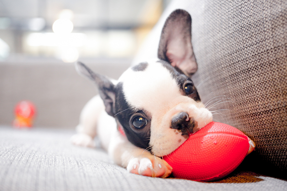 a dog chewing on a chew toy