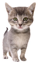 Image of a gray kitten.